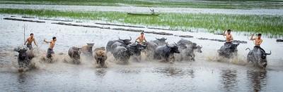 Herded buffalo season!