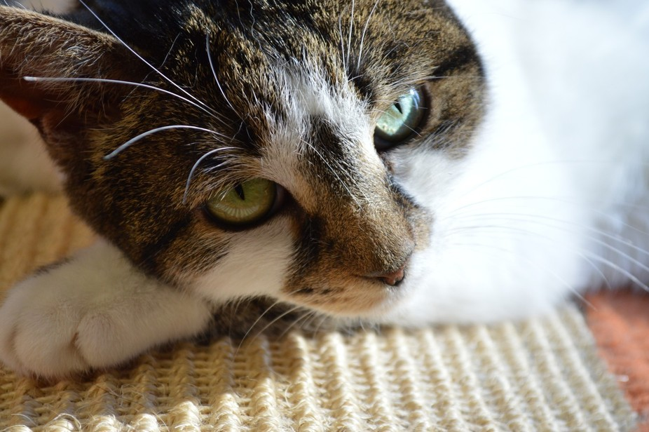 Lovely cat at the SPCA capturing your heart.