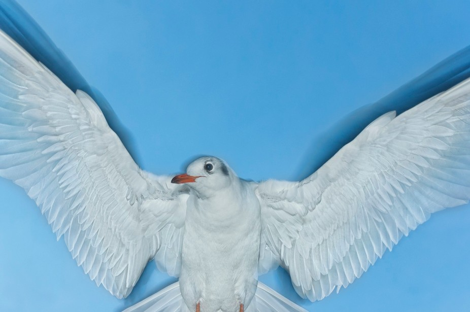 An adult black-headed gull in non-breeding plumage hovering over a man feeding them pieces of bre...