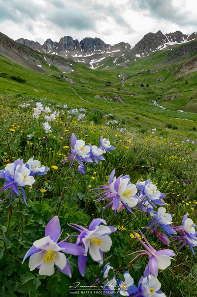 Columbines in American Basin, Colorado