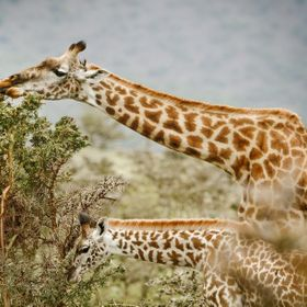 Crater Highlands region of Tanzania 2009; a mother Giraffe and her calf forage the hillsides for treats.