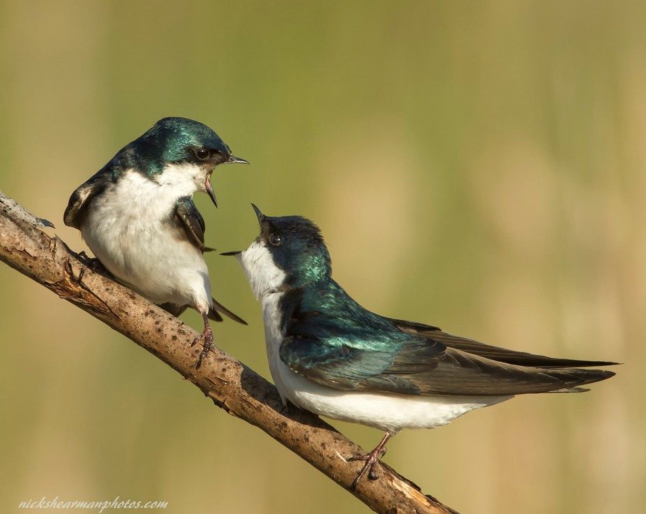 A pair of Tree Swallows having a discussion as to which nesting box would be the best, trust me ...