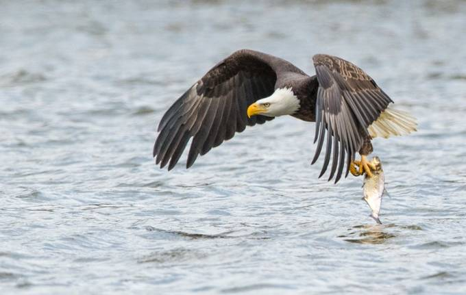 Fishing eagle 16 (1 of 1)-4 by Opticalimpressions - Majestic Eagles Photo Contest