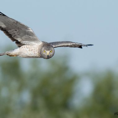 """""""Grey Ghost"""" also known as a Northern Harrier flying in hunting for prey."""