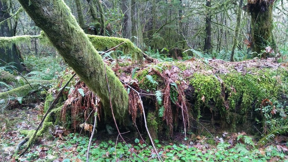 Just a glimpse into a temperate rainforest of Washington state...