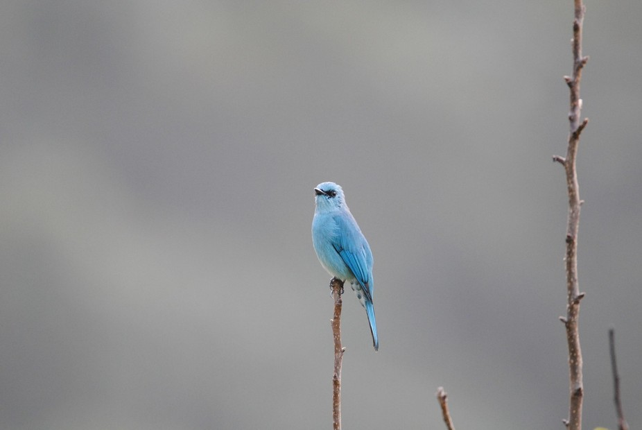 This Veriditer Flycatcher was out early and keeping a vigil against competitors out to intrude in...
