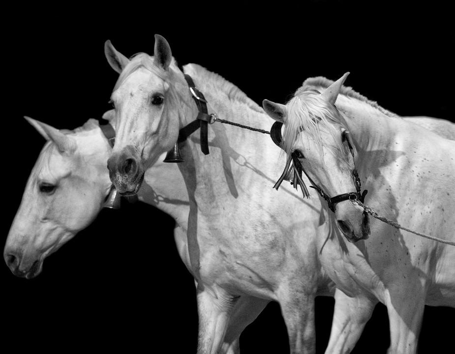 3 Purebred Spanish Horses
