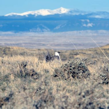 Sage Grouse and Bighorns