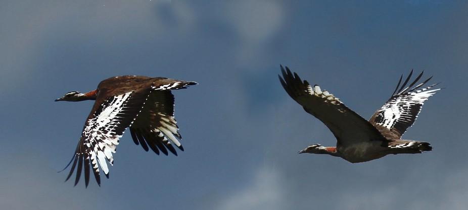 Denham's bustard, Stanley bustard or Stanley's bustard is a large bird in the b...