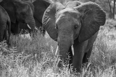 Elephant calf in black and white