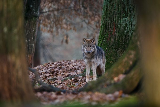 wolf by Anneliese-Photography - Can You See Me Photo Contest