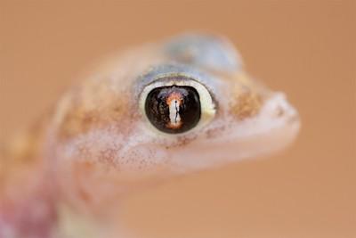 Gecko's eye
