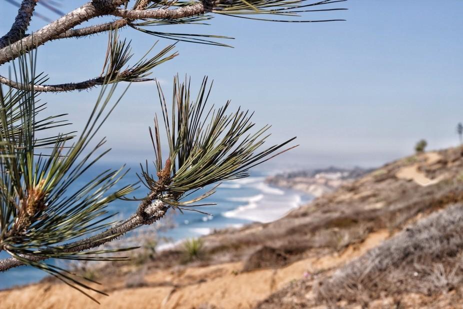Rare pines found in Torrey Pines, San Diego