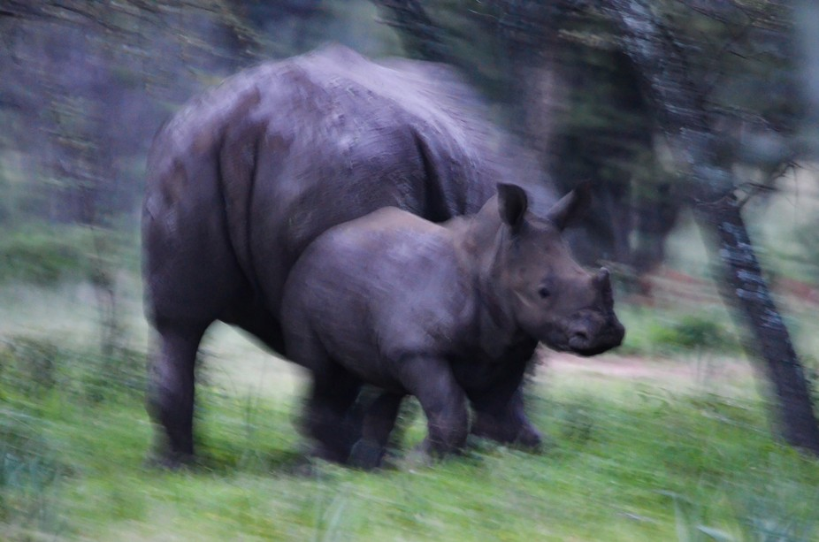 Baby and mother rhino in the wild, unfortunately we were on a game drive and couldn't st...