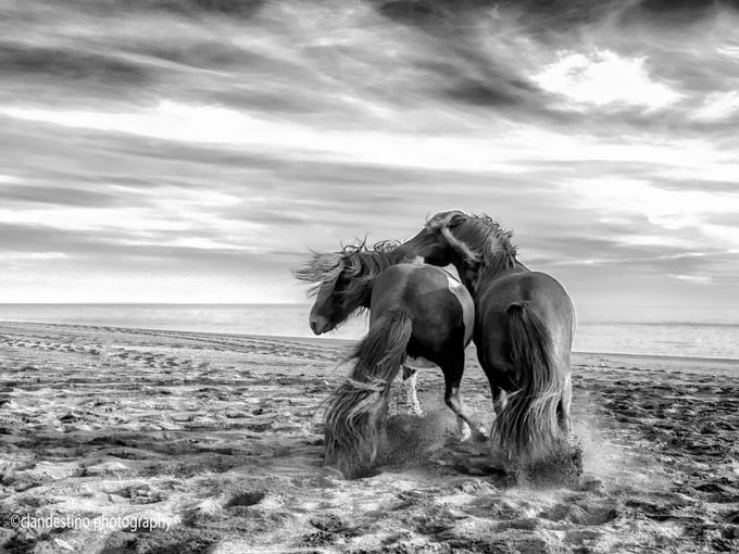 icelandic-horses by clandestino - Animals In Black And White Photo Contest