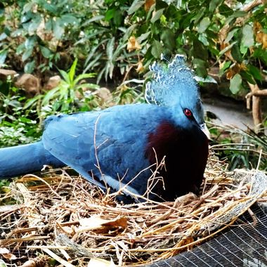 At Chester Zoo the Beautiful Victoria Crowned Pigeon chilling out on her nest