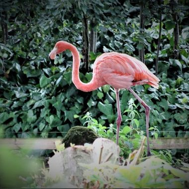 Pretty Flamingo, So Elegant strolling along at Chester zoo