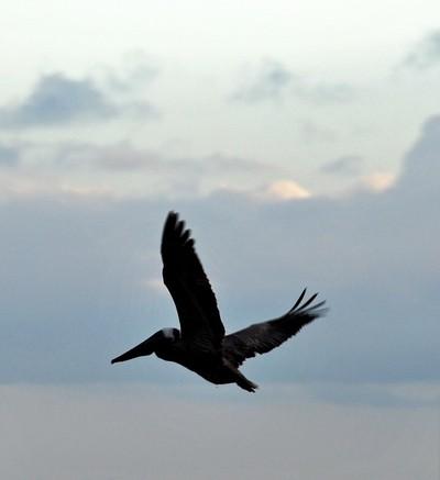 Pelican Wings