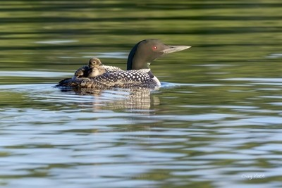 Mother Loon with Baby