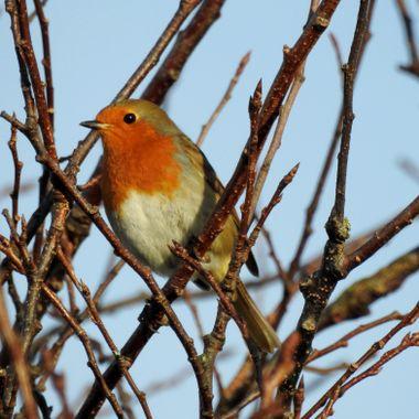 Rockin Robin .......