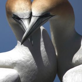 Australasian diving gannets can spend their life with the same partner. When one of the pair returns to the nest, an elaborate ritual of vocalizi...