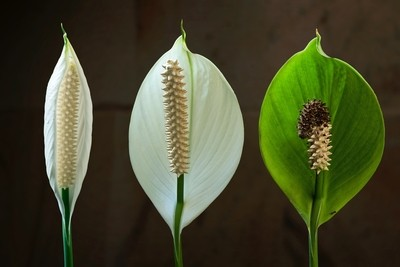 Ageing Peace Lily