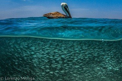 The Pelikan and the baits