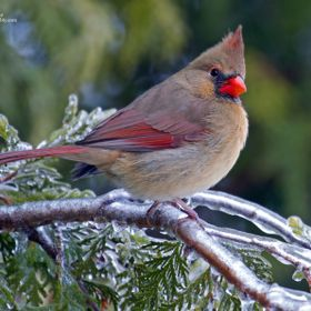 A female Northern Cardinal perched on an icy cedar branch the morning after an ice storm.