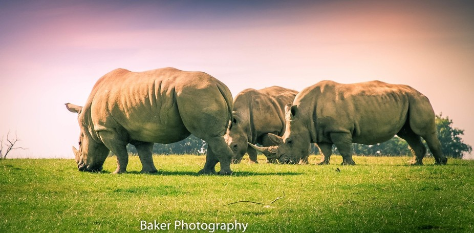 3 rhino's enjoying the sun