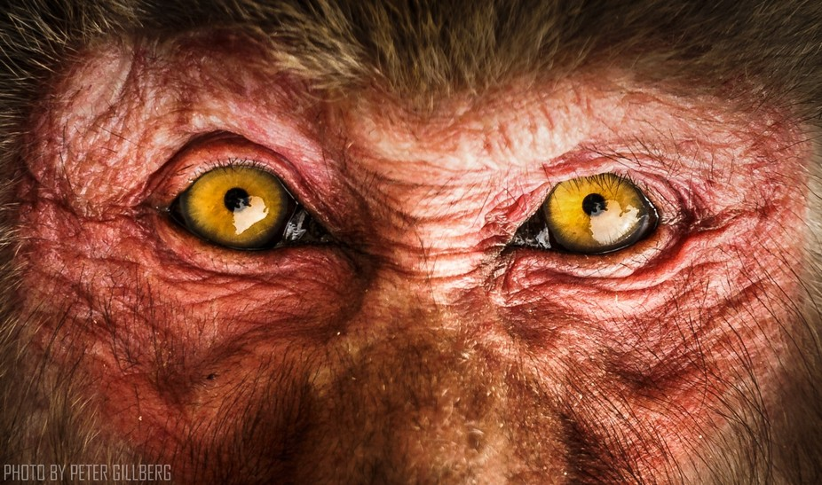Dr. Macaque and Mr. Hyde. The Macaque Snow Monkey staring me straight in the eyes, reminds me of ...