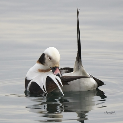 Male Long-tailed duck floating Tail feathers pointing vertically - Pachydiplax longipennis - Photo by Robson Smith