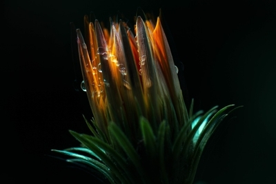 Fire and Water Flower