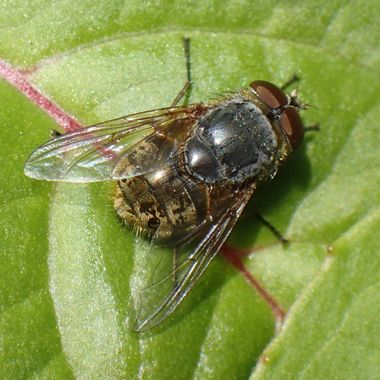 Young brown Blow Fly