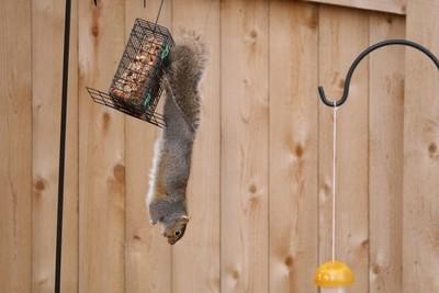 Squirrel on Feeder 2