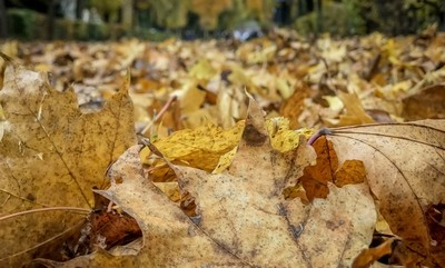 Fallen leaves during autumn