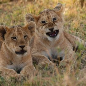 The cub on the left was complaining to his companion about how hard life is for a lion cub in Kenya (playing with sticks, chasing his tale, etc.)