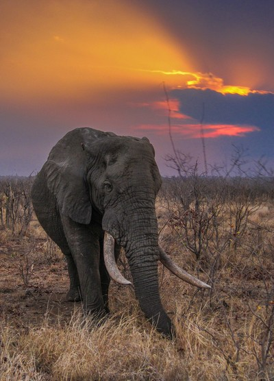 Magnificent Tusker!