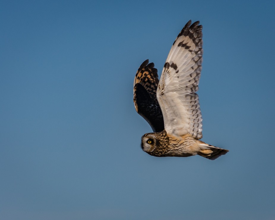 This short eared owl was posing, flew past me a couple of times allowing for this great capture. ...