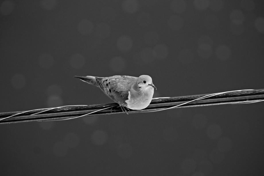 Juliana Bonus, bird on wire, vandergrifthbw