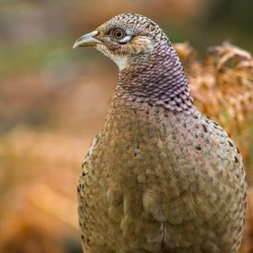 Went looking for Red Squirrels .. they weren't playing, but the young pheasant were happy to pose