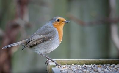European Robin 2