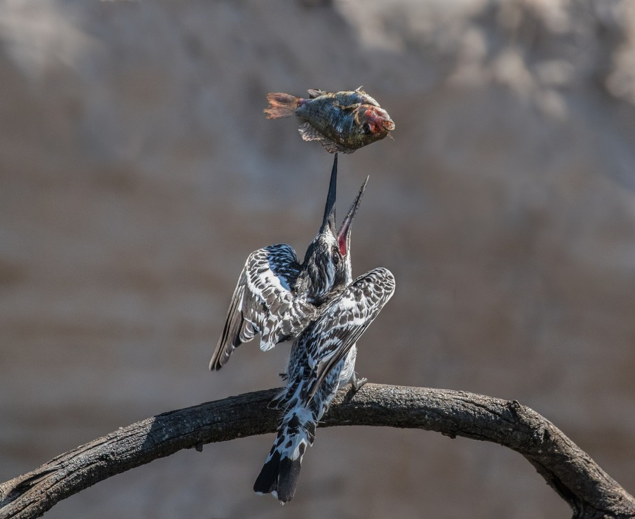 A pied Kingfisher trying to kill a fish before he could eat it. The fish was far too large and ju...
