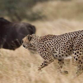Moments after this shot the cheetah tackled his prey and after a valiant struggle by the wildebeest the lightning fast cheetah got his food.