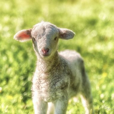 One of our first lambs! This one is a Romney, Dorper cross and it never seemed phased by our presence.
