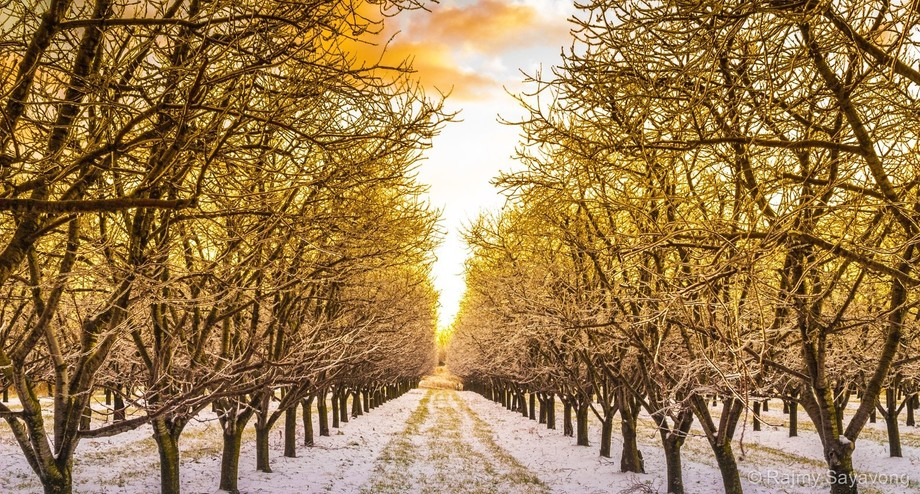 Taken just after some freezing rain. The orchard is glowing with the ice reflecting the golden an...