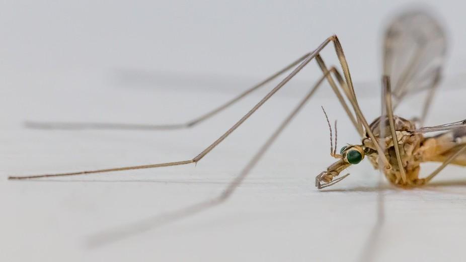 Green-eyed crane fly --- The Animal Eye: 10082 / 12088