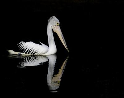 Pelican Reflection