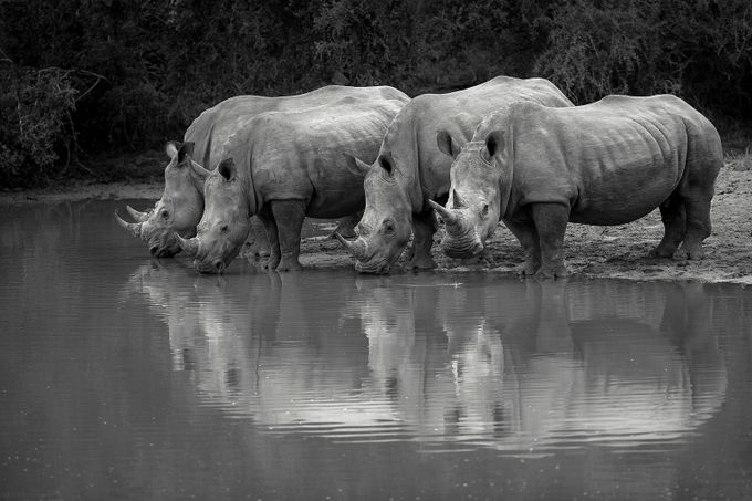 Rhino Tea Party by UfotoAfrica - Animals And Water Photo Contest