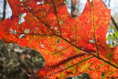Colorful mature maple leaf with character
