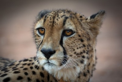 Cheetah Portrait - Rukiya - Rukiya Camp, Safari 7.2016, South Africa- (JHB19045)